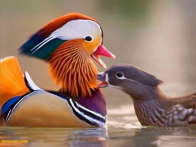زیباترین اردک جهان(عکس)