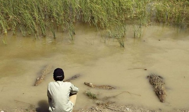 تمساح هایی که در سیستان و بلوچستان برکت می آورند ! + تصاویر