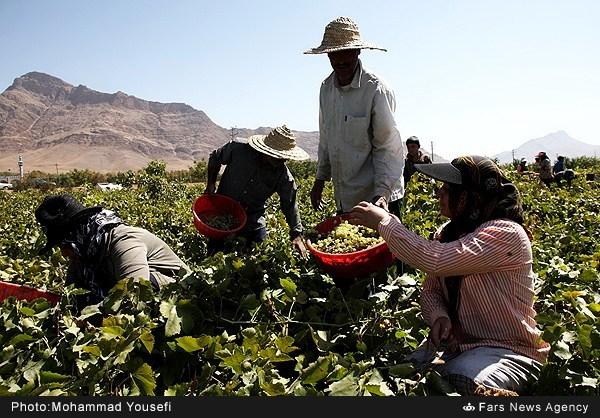 برداشت انگور در تاکستانهای ملایر همدان (عکس)