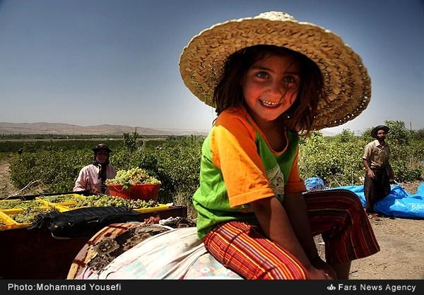 برداشت انگور در تاکستانهای همدان (عکس)