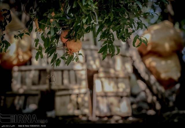 برداشت انار در روستاهای کردستان (عکس) - عصر دانش
