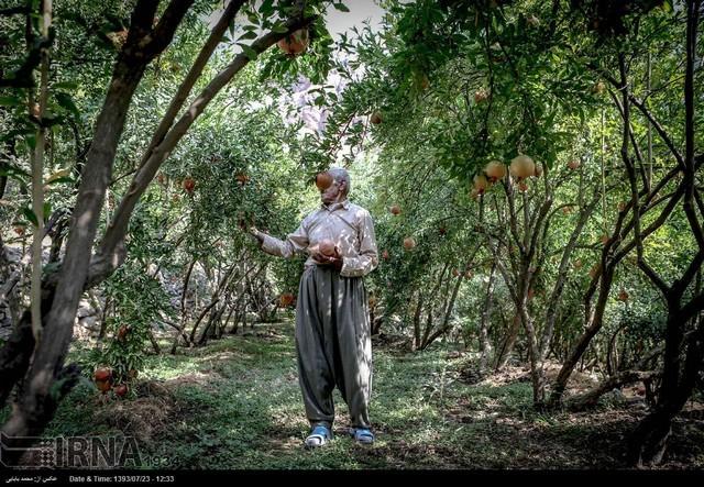 برداشت انار در روستاهای کردستان (عکس)