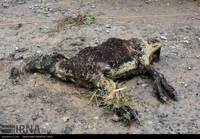 خسارت سیل به مرکز فروش دام در تبریز (عکس)