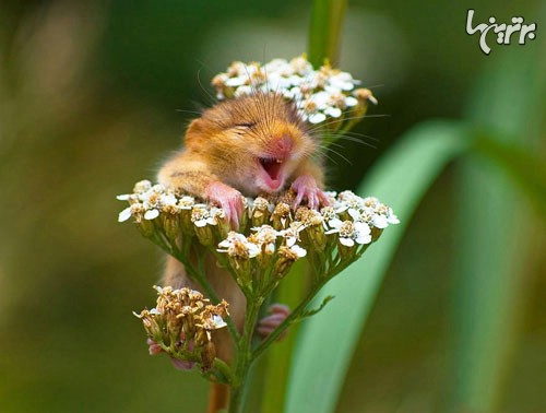 زیبایی موش های چشم دکمه ای! (+عکس)