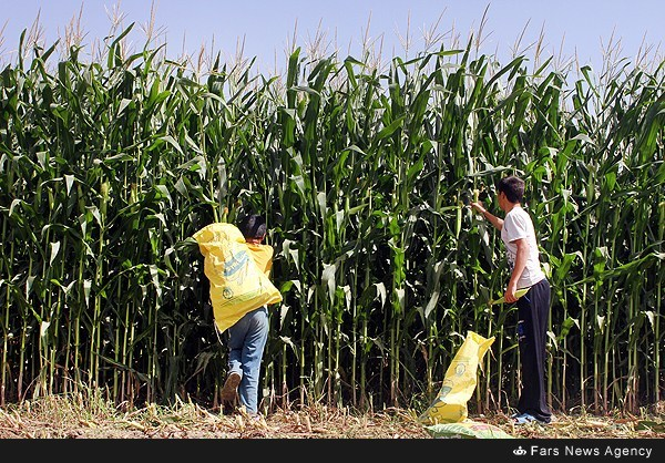 برداشت ذرت از مزارع جنوب شهر تهران (عکس)