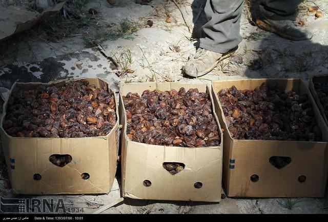 برداشت خرما از نخلستانهای بوشهر (عکس)