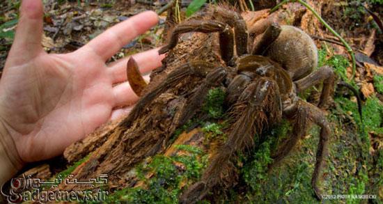 کشف بزرگترین عنکبوت جهان (+عکس)
