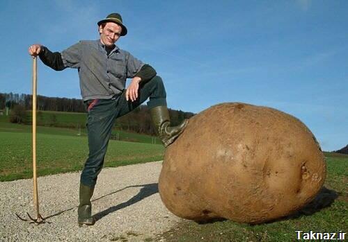 بزرگترین سیب زمینی دنیا (عکس)