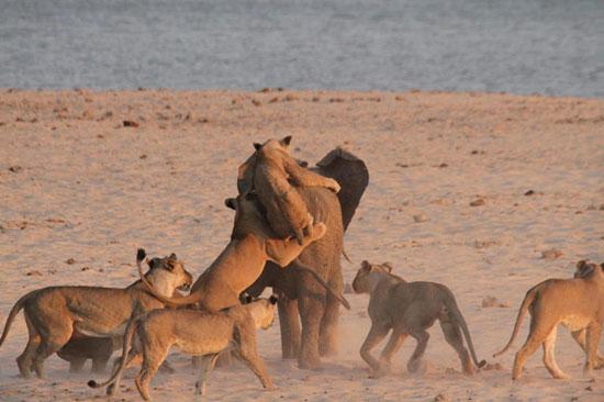 مبارزه فیل جوان با 14 شیر گرسنه (+عکس)