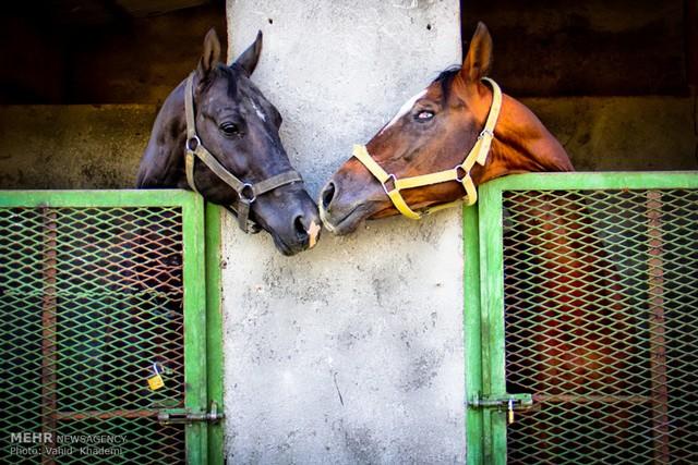 اسب اصیل ترکمن (عکس)