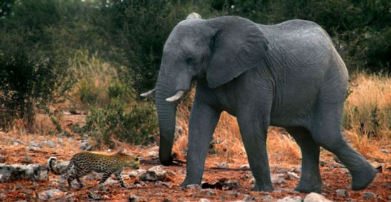 حمله فیل به پلنگ با خرطوم پر آب! (+عکس)