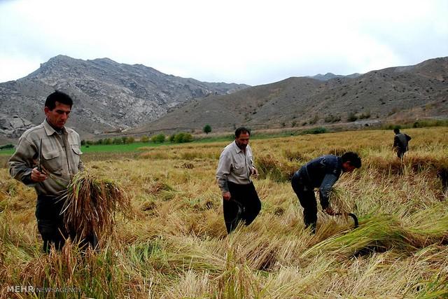 برداشت برنج در آذربایجان (عکس)