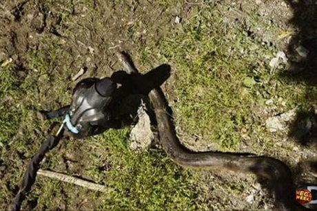 مارهای آناکوندا حوادث واقعی اخبار جالب