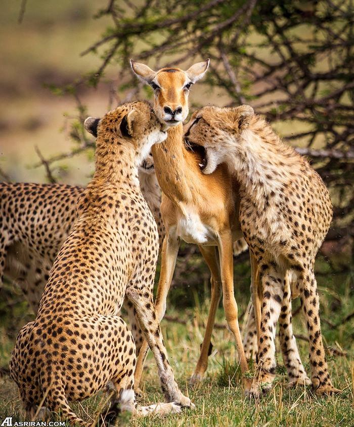 دوره آموزشی یوزپلنگ برای فرزندان:چطور آهو شکار کنیم (عکس)