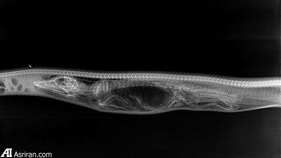 گوارش تمساح در شکم پیتون! (گزارش تصویری)