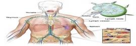 اهمیت سیستم لنفاوی در بدن