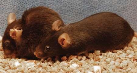 افزایش طول عمر موش ها با حذف سلول های پیر