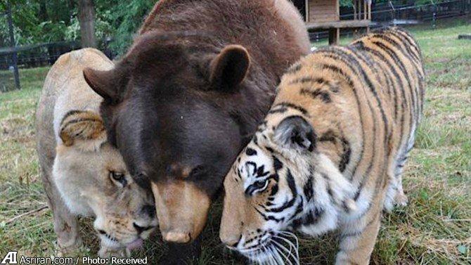 دوستی عجیب خرس، ببر و شیر (+عکس)