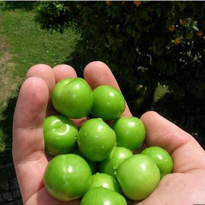 گوجه سبز دشمن سرطان