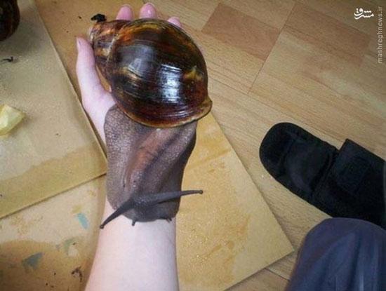 حلزون غول پیکر آفریقایی (عکس)