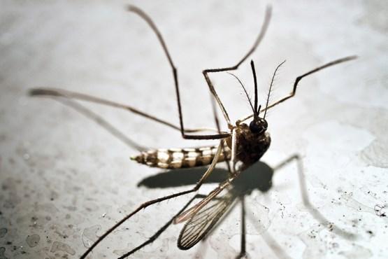 اگر نسل پشهها منقرض شود چه اتفاقی میافتد؟