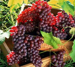 انگور قرمز علیه سرطان روده