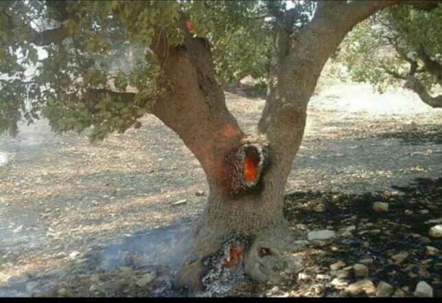 آتش به جان درخت زنده (عکس)