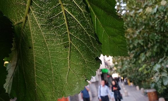درختان توت متهمان ردیف اول در افزایش امگس سفید، در صورتی که مگس های سفید وارد دهان شوند چه اتفاقی برای ما رخ می دهد؟