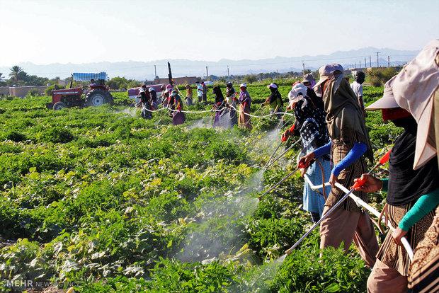 وجود بیش از حد سموم کشاورزی در 7 محصول پر مصرف/وزارت جهاد کشاورزی و بهداشت در پی راه حل (+ اسامی محصولات)
