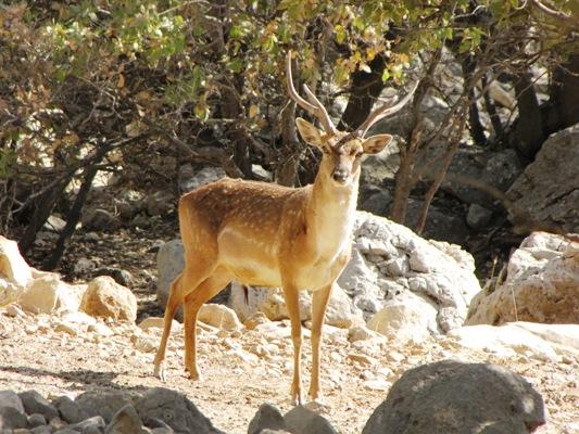 مرگ گوزن باردار به دلیل پرتاب سنگ در باغ وحش خرم آباد