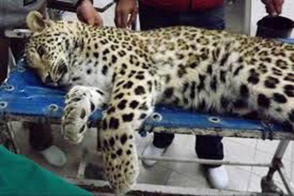 پلنگ مجروح گیلان در تهران جراحی شد