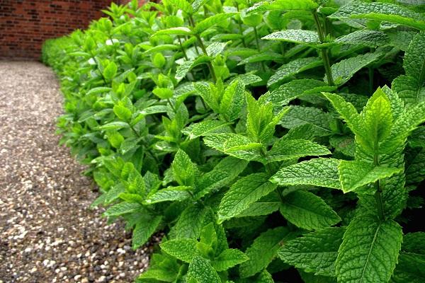 نعناع بیابانی از گیاهان دارویی