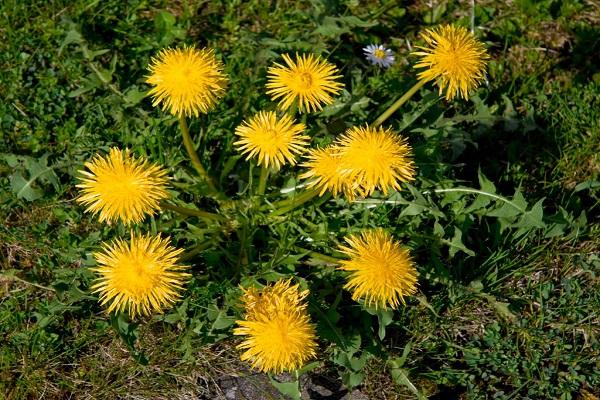 قاصدک از گیاهان دارویی