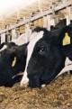 تاثیر ضایعات و تولید غیر استاندارد خوراک دام بر سفره مردم/ واردات خوراک دام تراریخته ممنوع نیست