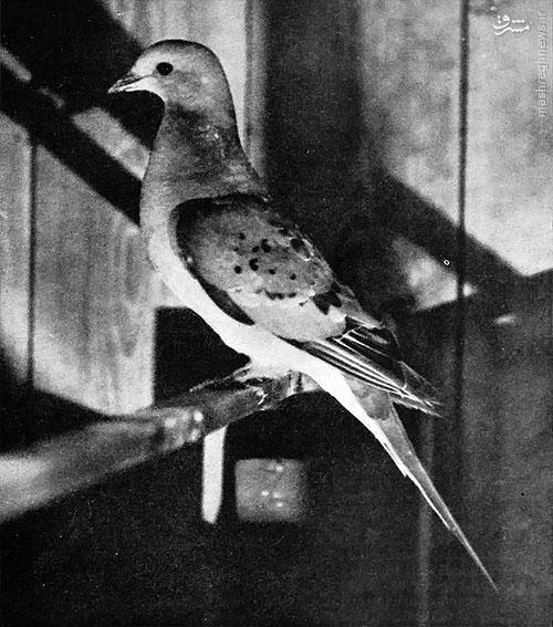 آخرین کبوتر وحشی دنیا (عکس)