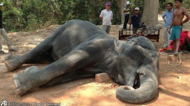 اعتراض مردم به مرگ دردناک یک فیل در کامبوج (+عکس)
