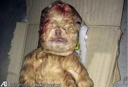 تولد بزغاله شبیه انسان در مالزی (+عکس)