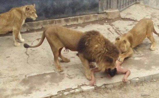 خودکشی مردی در باغ وحش، جان 2 شیر را گرفت!