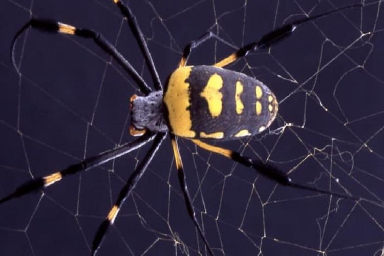 الهام از تار عنکبوت برای ساخت الیاف خود جمعشونده