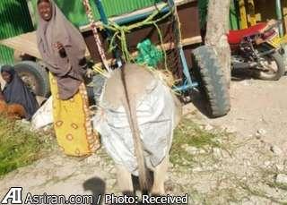 دستور به پوشک گرفتن الاغ ها در کنیا (+عکس)