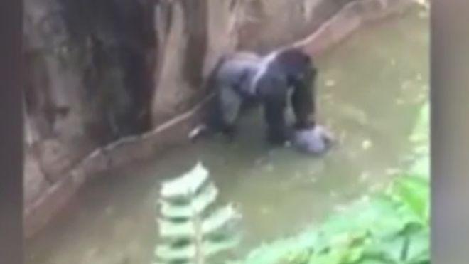 کشتن گوریل باغ وحش بعد از افتادن یک کودک در قفس (+عکس)