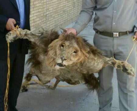 کشف یک قطعه پوست و سر شیر در مشهد (+عکس)