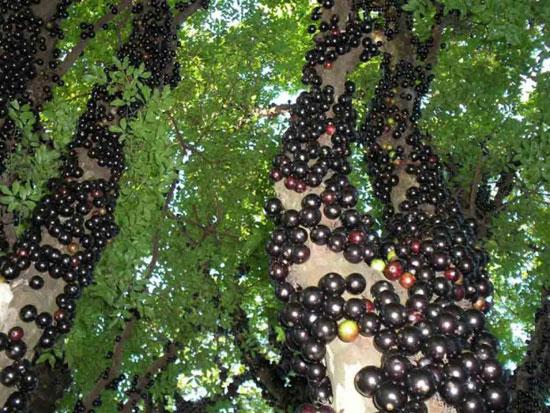 عجیب ترین میوه های جهان (+عکس)