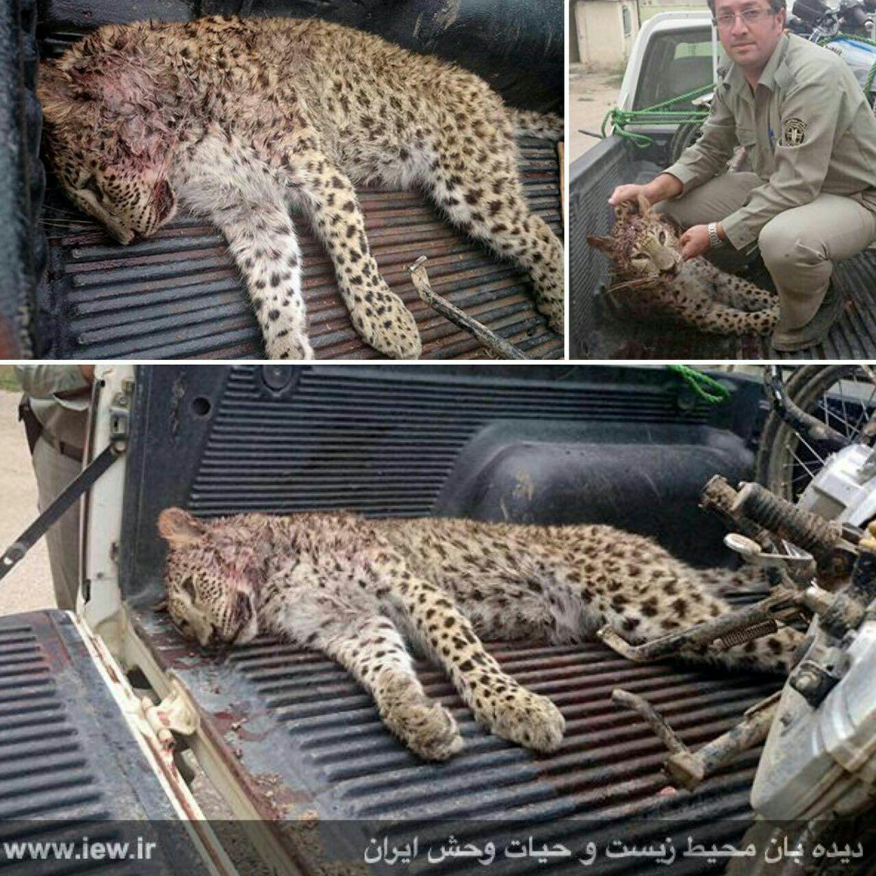 شکارچیان یک توله پلنگ را در مازندران کشتند (+عکس)