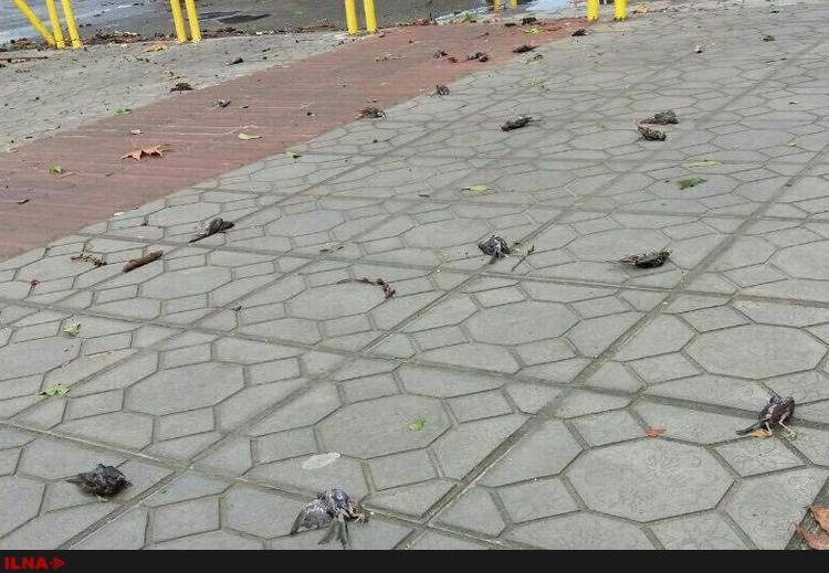 تلف شدن گنجشکها بر اثر رعدوبرق در مازندران (+عکس)