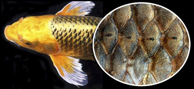 تولید برق از پولک ماهی!