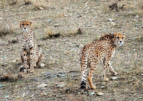 مدیر پروژه یوزپلنگ آسیایی : خبر باقی ماندن 2 یوز ایرانی صحت ندارد/ حدود 50 یوزپلنگ در ایران باقی مانده است