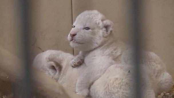 تولد ۴ توله شیر سفید در باغوحش لهستان