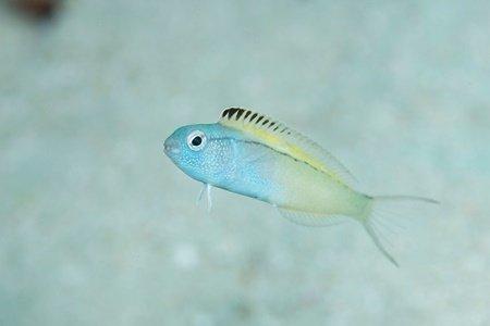 نیش این ماهی اثری مثل هروئین دارد (+عکس)