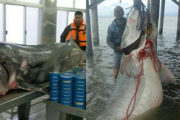 صید ماهی خاویاری 600 کیلویی در دریای خزر (+عکس)
